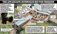 The ape escape: How 'psycho' gorilla Kumbuka made a bid for freedom #DailyMail