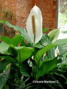 CUIDADOS Cuna de Moises o Espatifilo (Spathiphyllum wallisii ragel).