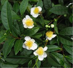 tea plant | ... tea plant to 5 feet tall grow your own tea at home this is the plant