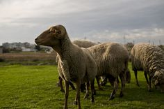Sheeps by João P. Cordeiro, via Flickr