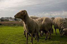 Sheeps by João P. Cordeiro, via Flickr