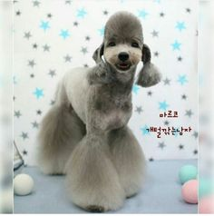 """""""I gotz bell bottoms! Dog Grooming Styles, Dog Grooming Salons, Poodle Grooming, Pet Grooming, Cortes Poodle, Barboni, I Love Dogs, Cute Dogs, Asian Dogs"""