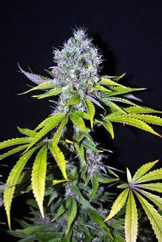 CBD Yummy Feminised #marijuana #cannabis