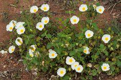 Cistus salviifolius L. ( Ciste à feuilles de sauge )  Preservons la nature Blog sur les plantes