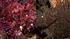 How to Tell the Different Rhinopias Species apart - Paddleflap, Weedy, Lacy - More Fun Diving Rare Fish, Beautiful Ocean, Life Pictures, Ocean Life, To Tell, More Fun, The Incredibles, Navy Life