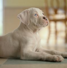 "Determine even more info on ""Boxer Pups"". Have a look at our website. - Belezza,animales , salud animal y mas White Boxer Puppies, White Boxers, Cute Puppies, Cute Dogs, Boxer And Baby, Boxer Love, Beautiful Dogs, Animals Beautiful, Cute Animals"