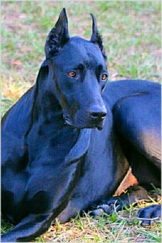 The Doberman Pinscher is among the most popular breed of dogs in the world. Known for its intelligence and loyalty, the Pinscher is both a police- favorite Big Dogs, I Love Dogs, Dogs And Puppies, Cute Dogs, Corgi Puppies, Doberman Pinscher Dog, Doberman Dogs, Dobermans, Blue Doberman