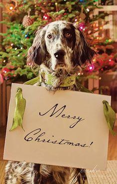 Christmas English Setter. Ryman Setter. Pet photography. Dog portrait. www.pouka.com