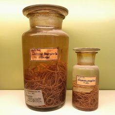 These parasite specimens are from 1864!  ((- and these jars are pretty big! )) They are lumbricoids which is a principal round-worm found in dogs (left) and cats (right). They resemble the common earth-worm and varies in length from one to six inches. Round-worms inhabit the small intestines often migrating into the stomach from which they are expelled by vomiting; but more often they seek the large intestine and pass out with the discharges. In rare instances they have been known to wander…