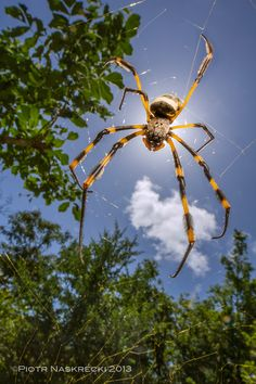 Banded-legged golden orb weaver (Nephila senegalensis) from Gorongosa, Mozambique. They weave enormous webs of yellow silk - click through for an astounding video of a golden spider-silk cape.