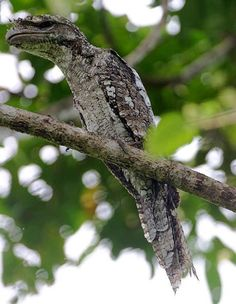 "Papuan Frogmouth  Podargus papuensis ""A big mouth"""