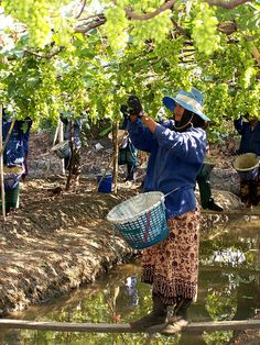 Siam Winery's floating vineyards in Thailand
