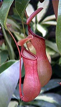 Nepenthes, popularly known as tropical pitcher plants or monkey cups, is a genus of carnivorous plants in the monotypic family Nepenthaceae. The genus comprises roughly 140 species, and numerous natural and many cultivated hybrids.