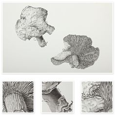 Agaric (Wild Fungi) | Sharon Field | Botanical Artist Study , Inspiration for Botanical Sketchbooks for Art Students at CAPI::: Create Art Portfolio Ideas milliande.com, Art School Portfolio Work, , Botanical, Flowers, Plants, Leaves,Stem Seed, Nature, Sketching, Herbarium