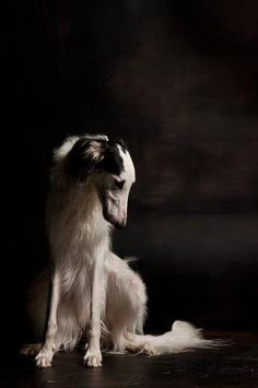 This is a beautiful Borzoi
