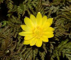 Would You Like a Real Adonis in Your Yard?: <i>Adonis amurensis</i> is one of the first plants to bloom in spring.