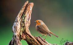 Composure Refined - Composure Refined (robin bird)