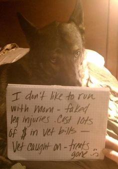Pet Shaming - Faked leg injuries.  Treats gone. #dog #meme
