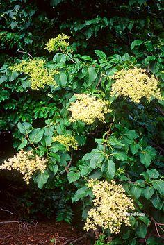 Syringa reticulata (1).jpg (640×959)