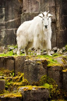 Mountain Goat, we saw some on Million Dollar Highway.