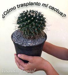 ¿Cómo trasplantar nuestros cactus como un experto?