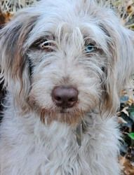 MO-Ada is an adoptable Poodle Dog in Saint Louis, MO. We are the original, the one, the only and REAL Doodle Rescue Collective, Inc. (DRC) A 501(c )(3) non-profit public charity providing Labradoodle...