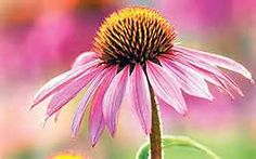 echinacea with purple blue flowers - Yahoo Image Search Results