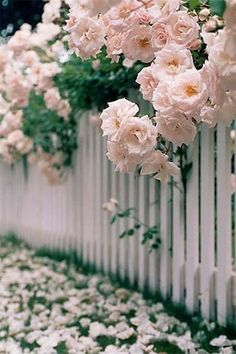 billowing fluffs of roses over a white picket fence