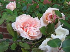 G.Nabonnand tea rose (which I've not heard of here)