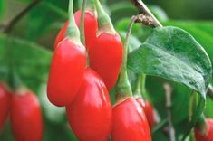 "The small Goji Berry is the ""new"" superfood. Photo used with permission from Goji Grow. Goji Grow is a UK company that sells goji be. Fruit Bushes, Fruit Plants, Edible Plants, Fruit Trees, Fruit Garden, Exotic Fruit, Tropical Fruits, Exotic Plants, Fruit And Veg"