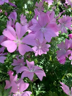 Pink Perennials, Nature, Flowers, Plants, Pictures, Photos, Naturaleza, Plant, Nature Illustration