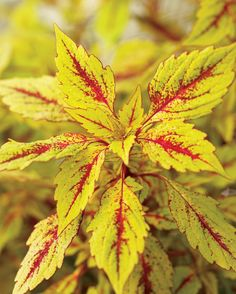 Pineapple Splash Coleus A bold, textural plant with pineapple-colored leaves and dashes of crimson venation throughout; features an upright habit Adaptable As Houseplant Heat Tolerant Deadheading not necessary  Garden Height:  36 Inches Spacing:  20 - 26 Inches Foliage Colors:  Yellow Foliage Shade:  Yellow Habit:  Upright Container Role:  Thriller Plant Needs Light Requirement:  Part Sun to Sun Bloom Time:  Grown for Foliage