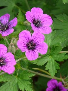Ooievaarsbek simple plant that blooms long. Container Plants, Container Gardening, Beautiful Gardens, Beautiful Flowers, Geranium Vivace, Seaside Garden, Perennial Vegetables, Garden Markers, Woodland Garden