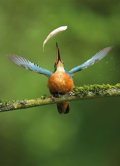 Common Kingfisher (Alcedo atthis) up on his favorite perch doing an air-flip to good effect - photo by Vince Burton. Wildlife Photography, Animal Photography, Beautiful Birds, Animals Beautiful, Common Kingfisher, Photo Animaliere, Tier Fotos, Bird Pictures, Belle Photo