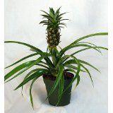 "Mini Me Pineapple Plant - Ananas - 4"" Pot http://lembarpembaca.blogspot.com"