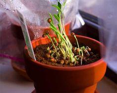 Cultivar cilantro en casa - http://www.jardineriaon.com/cultivar-cilantro-en-casa.html