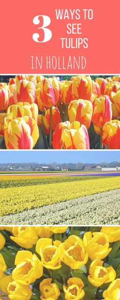 Tulip mania! How to have an epic trip seeing tulips in Holland