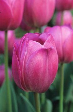 Tulipan Tulipa 'Attila' Fotografia de John Glover, uno de los primeros y de los mas importantes fotografos de jardin del Reino Unido