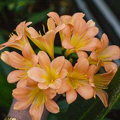 Colorado Clivia's plant number Clivia miniata, Julia D Verbena, Spring 2016, Shrubs, House Plants, Perennials, Colorado, Orange, Beautiful Flowers, Bamboo
