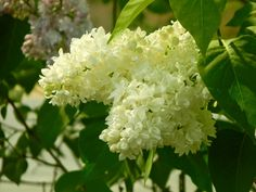 White Lilacs - Shrub but easily grows into a small tree.