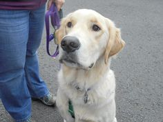 Wrigley has been adopted! This is Wrigley #2905 - 1 yr. He was an owner surrender due to becoming jealous of the small child in the family. He is neutered, current on vaccinations, potty trained, knows several commands, good with cats. Needs a proper intro to dogs. NO KIDS. He is an active boy and needs daily physical exercise. Golden Bond, OR.