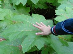 how big are this leaves