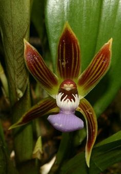 Chaubardia heteroclita - A medium-sized, warm-growing Andean species from Ecuador and Peru that is found at altitudes of 700 to 1500 meters as an epiphyte.