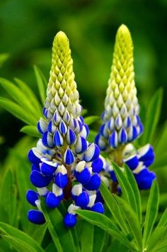 Lupin flowers. Great for the soil once finished flowering, dig them in.