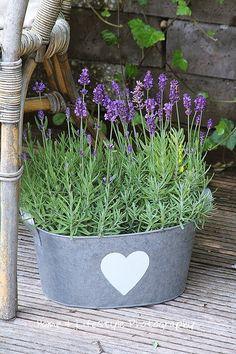 Love lavender in a galvanized bucket! - Gardening Is My Life Plants, Lavender Blue, Lavender Garden, Beautiful Flowers, Lavender Cottage, Love Flowers, Container Gardening, Garden Containers, Lavender Fields