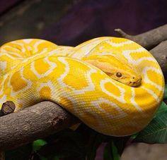 Yellow snake 3 Albino Burmese Python by Denise McQuillen ...