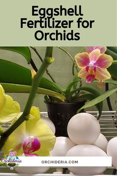 Are Eggshells Good Fertilizers for Orchids? Indoor Orchids, Orchids Garden, Garden Plants, House Plants, Potted Plants, Orchid Plant Care, Indoor Orchid Care, Orchid Food, Orchid Planters