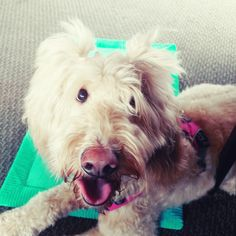 """Awaiting her audition as """"Sandy"""" in a local Orphan Annie production. Such a patient girl! http://ift.tt/2IeP3pL"""