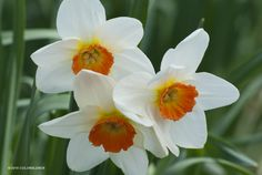 "Daffodil Barrett Browning. 16"" Height, Full Sun, Zones 3-8, Naturalizing, Early Season"