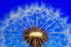 Free Image on Pixabay - Nature, Dandelion, Macro, Close Up Landscape Photography Tips, Macro Photography, Mimosa Pudica, Dandelion Benefits, Fotografia Macro, Flower Images, Flower Pictures, Urban Landscape, Nature